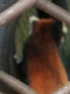 レッサーパンダ、背中しか見えないよ。こっち向いてくれ!