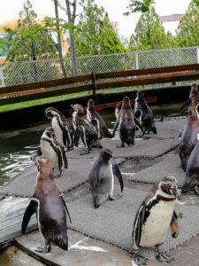 ペンギン村のフンボルトペンギンです
