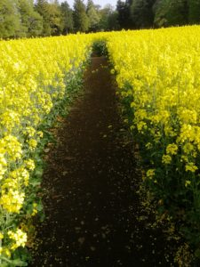 明治の森黒潮の菜の花畑